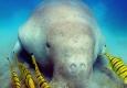 Dugong-Image